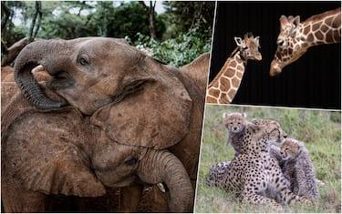 Animali del Kenya in via di estinzione, elefanti, leopardi e giraffe