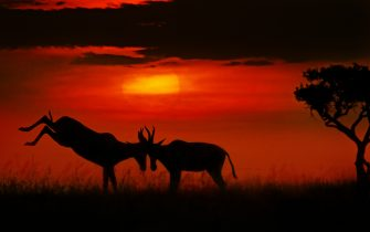 Two antelopes interlocked horns in an early morning clash. KENYA: STUNNING silhouettes that look like scenes straight out of THE LION KING have been captured at the burst of sunrise in Africa?s savannahs. In one image, a 1,500-pound rhino was dramatically silhouetted against the rising sun ? almost perfectly echoing the iconic opening scene from Disney?s The Lion King. In another, two 100-pound springbok antelopes stood with their antlers interlocked as the sun continued to rise higher in the sky, casting a red haze across the savannah. Photographer Priyanshi Bachhawat Nahata (33) from Dubai, United Arab Emirates, captured the stunning images in the Amboseli National Park and Masai Mara National Reserve, both located in Kenya. Priyanshi would start her day at four-in-the-morning to catch the stunning hour proceeding sunrise. Priyanshi captured the images using Nikon D5, Nikon D850 and Nikon Z6 cameras. Researchers for The Lion King visited Kenya in November 1991. The team captured photographs and footage which they then passed over to the film?s animators who based The Lion King?s landscapes on the country?s stunning savannahs. When the sun is low in the sky, it encounters more air molecules, forcing blue light away. Only the warmer tones are left, giving African sunrises and sunsets their signature red hue. mediadrumworld.com / @priyanshi.wildographs