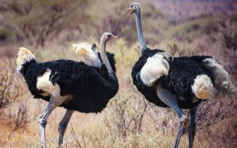 Two Male Ostriches fight and scream while the females wait nearby to see who will win at Samburu, Kenya.