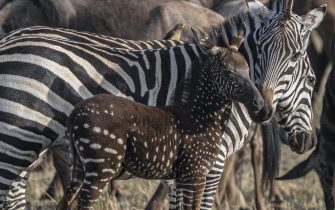 """September 22, 2019: PICTURE SHOWS: Zebra, Mara Reserve, Kenya..........STORY COPY:..British wildlife photographer Paul Goldstein has chosen his best pictures of the year. ..The Wimbledon-based guide and conservationist has had an exciting year in the wilderness. Polar bears, cheetahs, leopards, humpback whales, jaguars and pumas have all been captured through his viewfinder. ..''These quarries,'' he says. """"Require patience, fitness and indeed an almost biblical-like obsession if you want to get anything like an acceptable photograph."""" ..Paul, who guides for Exodus Travels (www.exodus.co.uk), explains: """"I spend months, even years, researching destinations and animals yet even with this sort of dedication and fieldcraft, there will never be a perfect photograph. However, no true wildlife photographer would want it any other way. I like the challenge, the hardship and even the physical difficulties. The patience required is a must not a virtue as is the discipline and concentration. It is also important that you must be prepared to fail. An ambitious yet flawed image always has more impact with me than yet another safe one. I look for a lot in an image but always originality and indeed degree of difficulty is high on the list. Once or twice I have come close to the grail photographically, but I will never achieve it, but the pursuit will never die, nor hopefully the animals.' ..''Sadly, many of these animals are threatened or even endangered which is why I have spent much of the last 20 years raising money for various charities associated with them,"""" he adds. ..Paul Goldstein is running the London and Everest Marathon next year dressed in his fabled nine-foot Bengal tiger suit to help raise money for his beloved striped predators. He has raised over £200,000 so far. He works and guides for Exodus travels and co-owns Kicheche Camps (www.kicheche.com) in Kenya...When: 22 Sep 2019.Credit: Paul GoldsteinCover Images (Credit Image: © COVER"""
