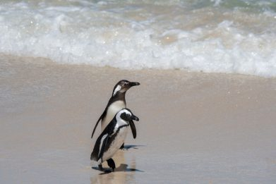 Sudafrica, sciame di api uccide 63 pinguini in via d'estinzione