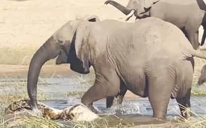 Mamma elefante uccide un coccodrillo per difendere il suo cucciolo