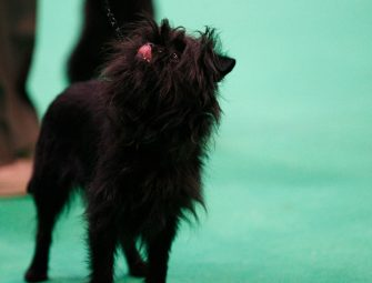 BIRMINGHAM, ENGLAND - MARCH 10: An Affenpinscher showing on day three of the Cruft's dog show at the NEC Arena on March 10, 2018 in Birmingham, England. The annual four-day event sees around 22,000 pedigree dogs visit the center, before the 'Best in Show' is awarded on the final day. (Photo by Richard Stabler/Getty Images)