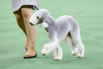 A Bedlington Terrier competes in the Terrier Group during the second day of competition at the 140th Annual Westminster Kennel Club Dog Show at Madison Square Garden on February 16, 2016 in New York City.