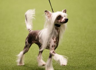 BIRMINGHAM, ENGLAND - MARCH 10: A Chinese Crested dog shows on day three of the Cruft's dog show at the NEC Arena on March 10, 2018 in Birmingham, England. The annual four-day event sees around 22,000 pedigree dogs visit the center, before the 'Best in Show' is awarded on the final day. (Photo by Richard Stabler/Getty Images)