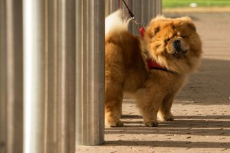 A chow chow dog named Mr Raffles arrives to attend the first day of the Crufts dog show at the National Exhibition Centre in Birmingham, central England, on March 7, 2019. (Photo by OLI SCARFF / AFP)        (Photo credit should read OLI SCARFF/AFP via Getty Images)