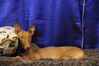 "NEW YORK - OCTOBER 17:  Phaith, a Pharaoh Hound takes part in the second annual ""Meet the Breeds"" showcase of cats and dogs at the Jacob K. Javits Convention Center on October 17, 2010 in New York City. ""Meet the Breeds"" is hosted by The American Kennel Club and Cat Fanciers Association, and 160 dog breeds and 41 cat breeds were presented this year.  (Photo by Michael Loccisano/Getty Images)"