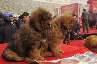 "SHIJIAZHUANG, CHINA - FEBRUARY 16:(CHINA OUT) Tibetan mastiffs are seen during the ""China Northern 2011 Tibetan Mastiff Exposition"" at Yutong International Sports Centre on February 16, 2011 in Shijiazhuang, Hebei province of China. The Tibetan Mastiff, also known as DoKhyi, is an ancient breed and a type of domestic dog originating with nomadic cultures in Central Asia.  (Photo by VCG/VCG via Getty Images)"