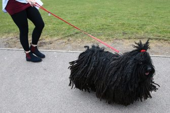 A dog owner arrives with her Hungarian Puli on the first day of the Crufts dog show at the National Exhibition Centre in Birmingham, central England, on March 10, 2016.  / AFP / JUSTIN TALLIS        (Photo credit should read JUSTIN TALLIS/AFP via Getty Images)