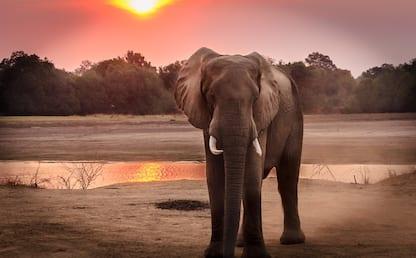 Giornata mondiale degli elefanti, le curiosità da sapere. FOTO