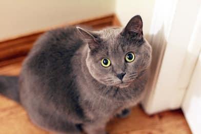 Australia, una città introduce il coprifuoco per i gatti