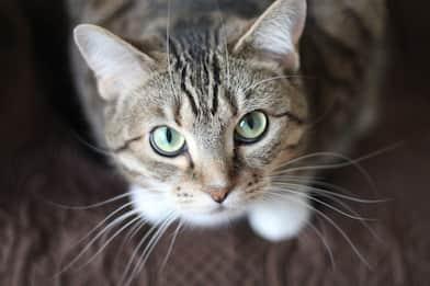 Giornata internazionale del gatto 2020, le razze più curiose
