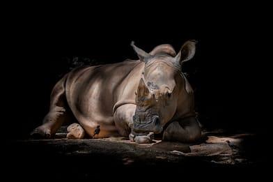 22 settembre, Giornata mondiale del rinoceronte: 20 curiosità. FOTO
