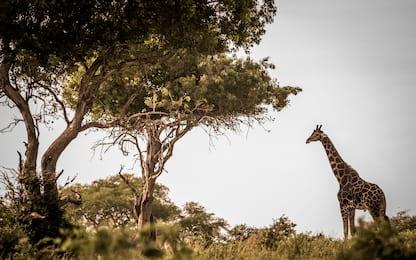 Giornata mondiale della giraffa, le curiosità che forse non conosci