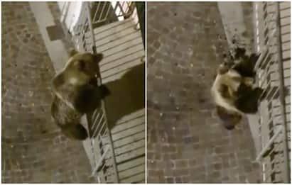 Trentino, orso si arrampica su balcone di un palazzo a Calliano. VIDEO