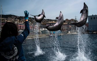 TOPSHOT - Dolphins perform during practice at the Aquarium of Genoa, Liguria, on May 22, 2020, as the country eases its lockdown after over two months, aimed at curbing the spread of the COVID-19 infection, caused by the novel coronavirus. - The Genova Aquarium is set to reopen on May 28 after over two months of lockdown. (Photo by MARCO BERTORELLO / AFP) (Photo by MARCO BERTORELLO/AFP via Getty Images)