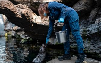 A keeper feeds a seal with fish at the Aquarium of Genoa, Liguria, on May 22, 2020, as the country eases its lockdown after over two months, aimed at curbing the spread of the COVID-19 infection, caused by the novel coronavirus. - The Genova Aquarium is set to reopen on May 28 after over two months of lockdown. (Photo by MARCO BERTORELLO / AFP) (Photo by MARCO BERTORELLO/AFP via Getty Images)