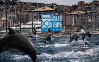 Dolphins perform during practice at the Aquarium of Genoa, Liguria, on May 22, 2020, as the country eases its lockdown after over two months, aimed at curbing the spread of the COVID-19 infection, caused by the novel coronavirus. - The Genova Aquarium is set to reopen on May 28 after over two months of lockdown. (Photo by MARCO BERTORELLO / AFP) (Photo by MARCO BERTORELLO/AFP via Getty Images)