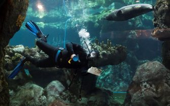 A diver cleans the glass as a seal swims past at the Aquarium of Genoa, Liguria, on May 22, 2020, as the country eases its lockdown after over two months, aimed at curbing the spread of the COVID-19 infection, caused by the novel coronavirus. - The Genova Aquarium is set to reopen on May 28 after over two months of lockdown. (Photo by MARCO BERTORELLO / AFP) (Photo by MARCO BERTORELLO/AFP via Getty Images)
