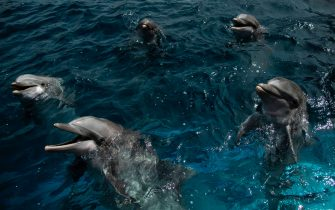 Dolphins wait to be fed at the Aquarium of Genoa, Liguria, on May 22, 2020, as the country eases its lockdown after over two months, aimed at curbing the spread of the COVID-19 infection, caused by the novel coronavirus. - The Genova Aquarium is set to reopen on May 28 after over two months of lockdown. (Photo by MARCO BERTORELLO / AFP) (Photo by MARCO BERTORELLO/AFP via Getty Images)
