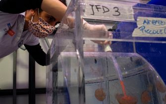A keeper feeds medusas at the Aquarium of Genoa, Liguria, on May 22, 2020, as the country eases its lockdown after over two months, aimed at curbing the spread of the COVID-19 infection, caused by the novel coronavirus. - The Genova Aquarium is set to reopen on May 28 after over two months of lockdown. (Photo by MARCO BERTORELLO / AFP) (Photo by MARCO BERTORELLO/AFP via Getty Images)