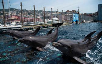 Dolphins perform at the Aquarium of Genoa, Liguria, on May 22, 2020, as the country eases its lockdown after over two months, aimed at curbing the spread of the COVID-19 infection, caused by the novel coronavirus. - The Genova Aquarium is set to reopen on May 28 after over two months of lockdown. (Photo by MARCO BERTORELLO / AFP) (Photo by MARCO BERTORELLO/AFP via Getty Images)
