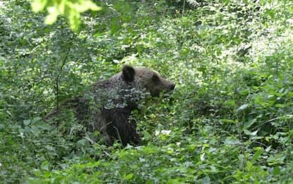 Trentino, ordinanza abbattimento per orso che ha ferito padre e figlio