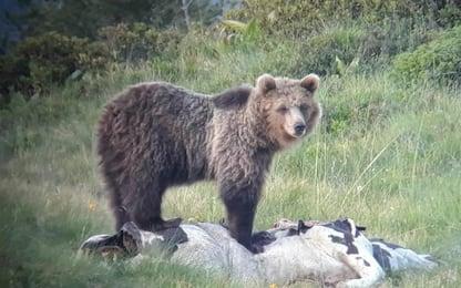 """M49 ancora in fuga, Lav: """"Recinto Casteller non è una casa per orsi"""""""