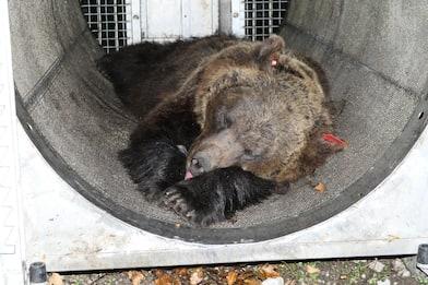 Trentino, l'orsa catturata e rilasciata mercoledì è JJ4