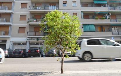 Milano, un ciliegio nato sull'asfalto durante il lockdown. FOTO