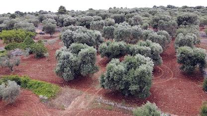 Xylella: 68 mln di euro a agricoltori pugliesi per danni nel 2016-17