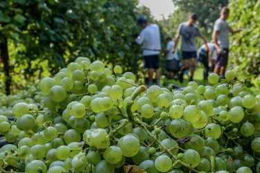 TREVISO, ITALY - SEPTEMBER 19: Workers harvest grapes for Prosecco in a vineyard on September 19, 2018 in Treviso, Italy. In 2019 a production of over 500 million bottles of Prosecco Doc is planned in the regions of Veneto and Friuli Venezia Giulia, destined for national consumption and exportation all over the world. (Photo by Stefano Mazzola/Awakening/Getty Images)