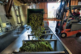 VARNA, ITALY - OCTOBER 13: Enologist Celestino Lucin empties a crate of harvested grapes into a de-stemming machine at the Abbazia di Novacella on October 13, 2010 in Varna, Italy. Abbazia di Novacella, in Alto Adige was established in the year 1142 by Augustinian monks and is one of the oldest vineries in the world. It has a production of about 400,000 bottles of world class wines including Kerner, Sylvaner, Pinot Grigio and Gewurtztraminer. (Photo by Marco Secchi/Getty Images)