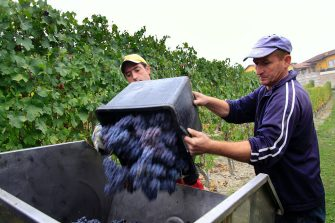 CUNEO, ITALY - OCTOBER 06:  Vineyard workers dump a bin of freshly harvested ripe clusters of Nebbiolo grape on October 6, 2009 in Novello, near Cuneo, Italy. Barolo wine is produced in Cuneo province within the Piedmont region of Italy. Originally created in the mid eighteenth century by French oenologist Louis Oudart, Barolo wine is made solely from the Nebbiolo grape with best results generally delivered when grown on sheltered south facing, well-drained calcareous sites found in the region. (Photo by Massimo Di Nonno/Getty Images)