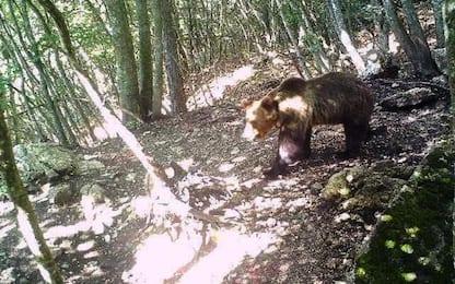 Trentino, catturato l'orso M49 nella zona di Lagorai
