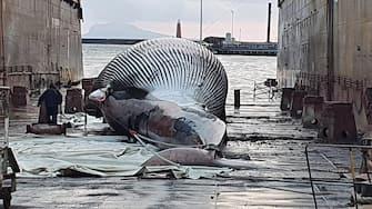 Si sono concluse nella notte le complesse operazioni di rimozione e trasporto della carcassa di balenottera individuata lo scorso 17 gennaio davanti al porto di Sorrento. L'attività di rimorchio del cetaceo è stata condotta - sotto il coordinamento della Direzione Marittima di Napoli - dalle motovedette CP267 e CP532 della Guardia Costiera, che hanno trasportato l'esemplare verso il porto di Napoli, dove sono giunti alle prime luci dell'alba. Ora sarà possibile effettuare l'esame necroscopico per individuare le cause della morte di quello che sembrerebbe uno dei più grandi esemplari di balenottera individuati nel Mediterraneo. ANSA/UFFICIO STAMPA AMP PUNTA CAMPANELLA +++ ANSA PROVIDES ACCESS TO THIS HANDOUT PHOTO TO BE USED SOLELY TO ILLUSTRATE NEWS REPORTING OR COMMENTARY ON THE FACTS OR EVENTS DEPICTED IN THIS IMAGE; NO ARCHIVING; NO LICENSING +++