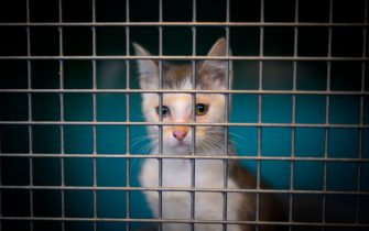 An abandoned cat waits in a cage in the animal shelter of a SPA (society for animal protection) in Gennevilliers, northwestern suburbs of Paris, on August 13, 2019. (Photo by Olivier MORIN / AFP)        (Photo credit should read OLIVIER MORIN/AFP via Getty Images)