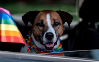 A dog is seen on a car during a motorcade to celebrate gay pride in Tijuana, Baja California state, Mexico, on June 28, 2020. - The traditional parade was substituted by a motorcade to prevent the spread of the new coronavirus pandemic. The first Gay Pride parade took place in New York exactly fifty years ago. (Photo by Guillermo Arias / AFP) (Photo by GUILLERMO ARIAS/AFP via Getty Images)