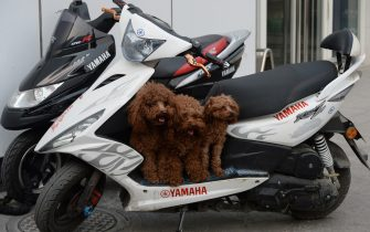 This photo taken on March 11, 2014 shows three dogs waiting for their owner to take them home on his battery-powered scooter in Beijing.  Dog ownership is popular amongst Chinas elderly and the growing middle class but owners cannot legally keep dogs taller than 36 centimeters.        AFP PHOTO/Mark RALSTON        (Photo credit should read MARK RALSTON/AFP via Getty Images)