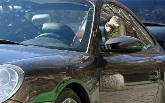 A young stray female cat examines the rearview mirror of a parked  car in the center of Kiev on a warm spring day on March 28, 2019. (Photo by Sergei SUPINSKY / AFP)        (Photo credit should read SERGEI SUPINSKY/AFP via Getty Images)