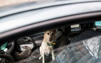 """TURIN, ITALY - APRIL 15: A dog waits in a car on April 15, 2020 in Turin, Italy. """"Homeless not Dogless"""" is an NGO association which help dogs of the homeless and people suffering with Coronavirus (COVID-19). The Italian government continues to enforce the nationwide lockdown measures to control the spread of COVID-19, even if some businesses categories are slowly reopening. (Photo by Stefano Guidi/Getty Images)"""