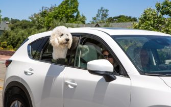 SOLVANG, CA - MAY 23:  A dog hanging a car windown is viewed as it passes by on May 23, 2020, in Solvang, California. Because of its close proximity to Southern California and Los Angeles population centers, this Danish-themed tourist attraction in Santa Barbara County has become a popular weekend travel getaway destination for millions of tourists each year. The town's hotels, restaurants (except for carry-out), wineries, and boutique shops had been closed for the past two months due to COVID-19.  (Photo by George Rose/Getty Images)