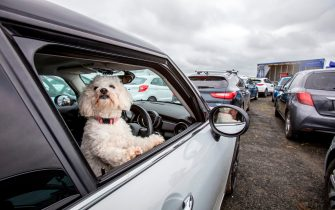 A parishioner's dog looks out of a window as they sit in their cars to socially distance whislt they wait for Pastor Billy Jones to stand inside a potato delivery lorry and deliver his sermon, in the carpark at Dunseverick Baptist Church in Northern Ireland on May 24, 2020, during a drive-in Sunday church service due to the novel coronavirus COVID-19 pandemic. - Travellers arriving in Britain will face 14 days in quarantine from next month to prevent a second coronavirus outbreak, the government announced on Friday, warning that anyone breaking the rules faced a fine or prosecution. The new rules will apply to all international arrivals except Ireland from June 8 and come after weeks of calls for tougher restrictions to curb the spread of COVID-19. (Photo by PAUL FAITH / AFP) (Photo by PAUL FAITH/AFP via Getty Images)