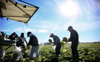 Mexican Farm workers harvest lettuce in a field outside of Brawley, California, in the Imperial Valley, on January 31, 2017. Many of the farm workers expressed fears that they would not be able to continue working in the United States under the President Trump's administration. / AFP / Sandy Huffaker        (Photo credit should read SANDY HUFFAKER/AFP via Getty Images)