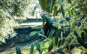La raccolta delle olive per la produzione di olio a San Sebastiano al Vesuvio, in provincia di Napoli, 6 Ottobre 2019. ANSA/CESARE ABBATE
