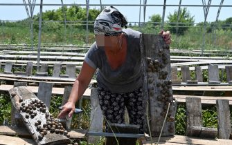 Yulia Koretska, technologist at the Ravlyk-2016 farm, inspects snails at a farm in Voynivka in Ukraine's Poltava region on July 7, 2020. - Ex-Soviet Ukraine's fledgling snail industry now boasts some 400 farms which have found eager buyers in European countries like Italy and Spain. But sweeping coronavirus restrictions that plunged the global food service industry into an unprecedented crisis have threatened to wipe out the fledgling farms in one of Europe's poorest countries. (Photo by GENYA SAVILOV / AFP) (Photo by GENYA SAVILOV/AFP via Getty Images)