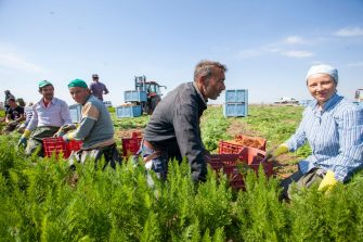 ZAPPONETA, ITALY - MAY 29: Workers harvest ripe carrots for sale on May 29, 2020 in Zapponeta, Italy. The carrots of Zapponeta, recognized as Apulian Traditional Agri-Food Product, are grown in the Zapponeta area in the province of Foggia. (Photo by Donato Fasano/Getty Images)