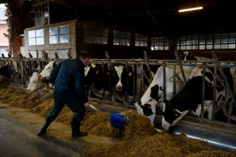 Italian milk farmer Dario Sereno, wearing a face mask, feeds cows in his farm on March 26, 2020 in the countryside of Vottignasco, Piedmont, during the country's lockdown following the COVID-19 new coronavirus pandemic. (Photo by MARCO BERTORELLO / AFP) (Photo by MARCO BERTORELLO/AFP via Getty Images)