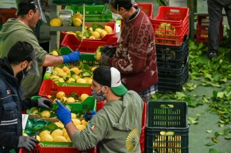 Workers wearing protective mask and face shield prepare lemons for packaging during harvest at the 'Costieragrumi De Riso' traditional lemon growing company, on April 24, 2020 in Minori, south of Naples, during the country's lockdown aimed at curbing the spread of the COVID-19 infection, caused by the novel coronavirus. - The production of typical products from the Campania are not all affected by the virus in the same way : the demand for Protected Geographical Indication (PGI) lemons has greatly increased, in particular due to its antiseptic properties and richness in C vitamin. (Photo by ANDREAS SOLARO / AFP) (Photo by ANDREAS SOLARO/AFP via Getty Images)