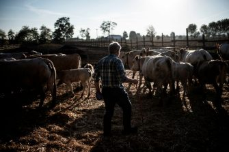 """Italian cattle breeder Pier Domenico Dotta holds his smartphone that he uses to check the cattle stall register app in his farm in Villafalletto, near Turin, northwestern Italy on October 25, 2018. - With this free app made by """"Anaborapi"""" (Piedmontese Bovine Breeders Association) cattle breeders check the conditions of every single cow. Animals wear a special collar with a """"chip"""" used to connect each animal to the app software. (Photo by MARCO BERTORELLO / AFP)        (Photo credit should read MARCO BERTORELLO/AFP via Getty Images)"""